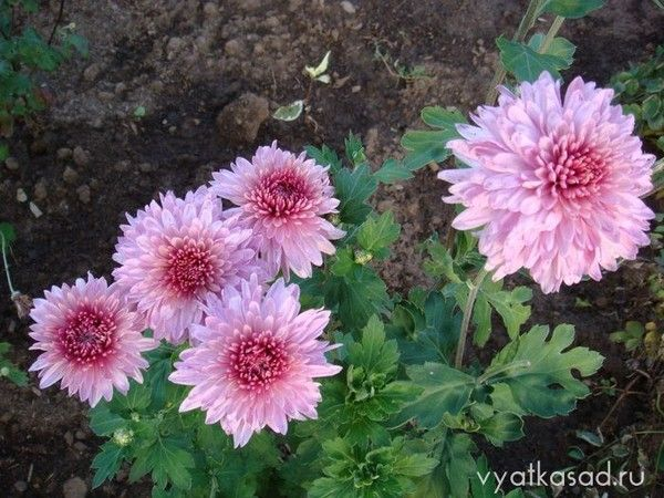Можно ли держать дома цветок хойя (восковой плющ)?
