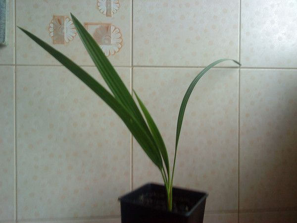 Можно ли косточки слакого финика вырастить пальму в домашних условиях? Как?