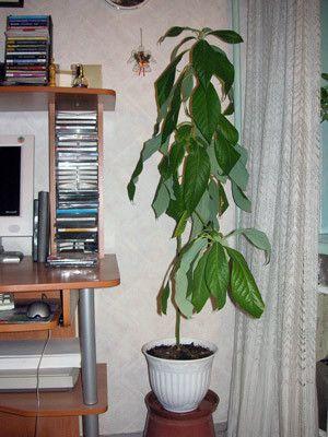 Кто-нибудь выращивал дома авокадо?