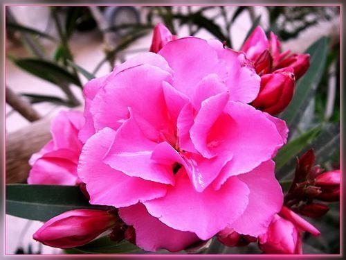 Насколько ядовит цветок олеандр. Можно ли его держать в домашних условиях?