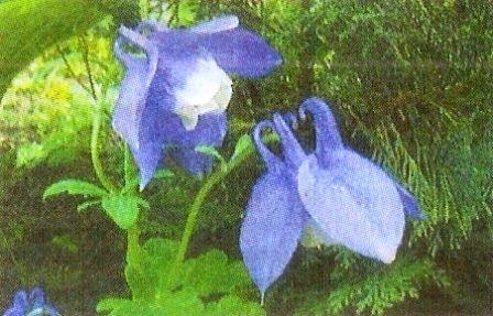 Аквилегия - цветы для сада, уход за аквилегией