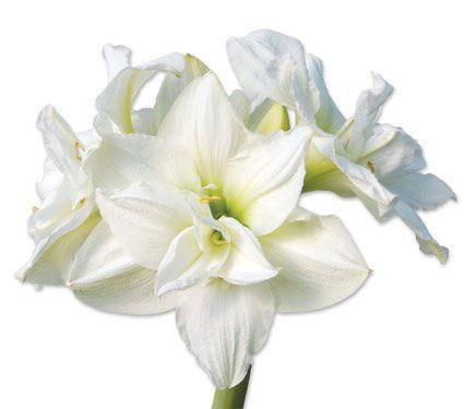Амариллис — прекрасное домашнее растение из южной америки