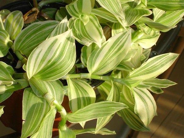 Мирт может выжить дома или это только уличное растение