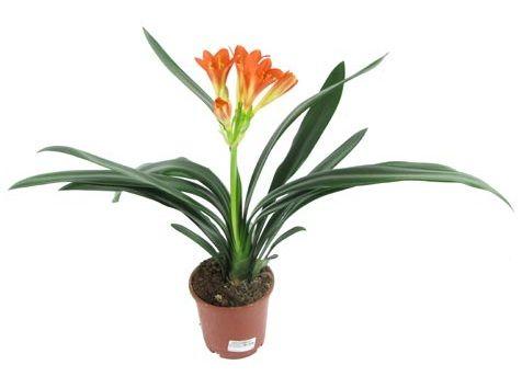 Кливия: красивое и неприхотливое растение, которое может украсить ваш дом!