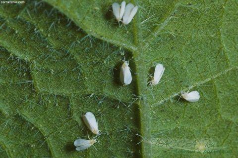 Белокрылка: химические, механические, биологические методы борьбы в теплице и на комнатных растениях