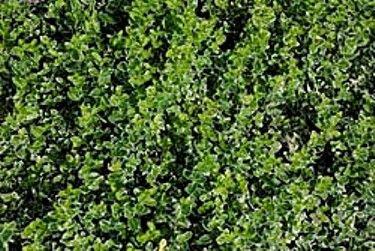 Бересклет и его использование в дизайне сада