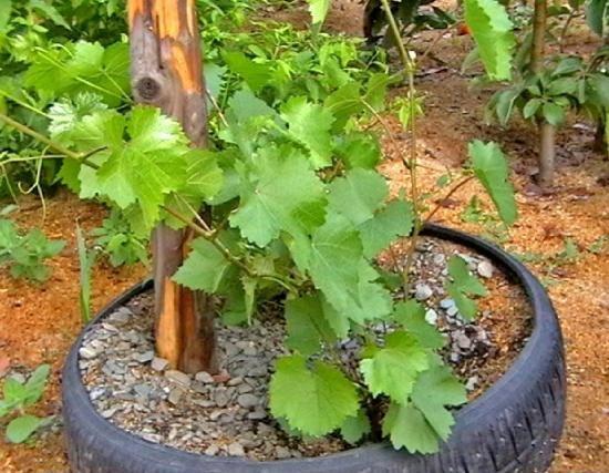 Биотехнология земледелия природного типа при выращивании винограда в суровых климатических условиях