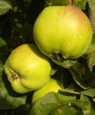 Болезни яблок при хранении, их профилактика