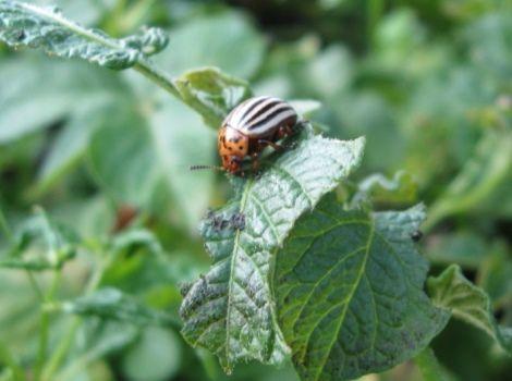 Борьба с колорадским жуком без применения химии