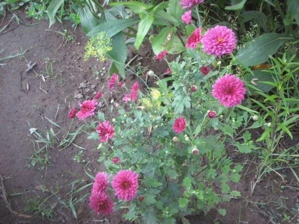 У какого сорта сенполий самые-самые-самые большие цветы? :)