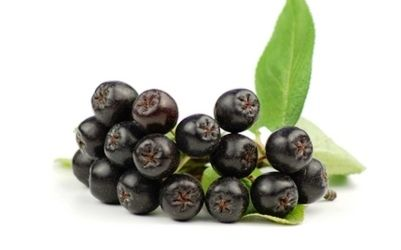 Черноплодная рябина: лечебные свойства