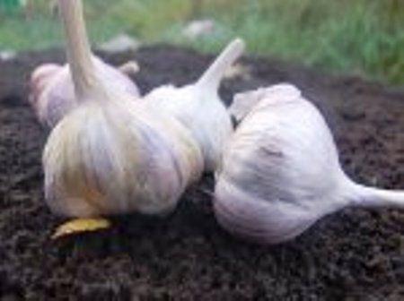 Посадка озимого чеснока, семенной материал, почва и сроки посадки
