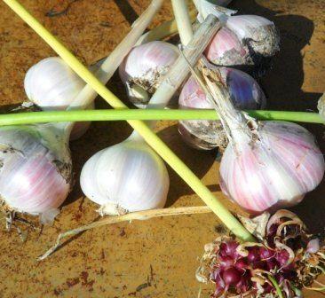 Чеснок на урале: опыт выращивания здоровой культуры