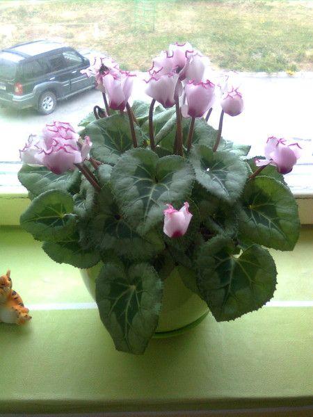 Подскажите ! Традесканция (цветок) - мне сказали что его не желательно держать дома , правда ли это?