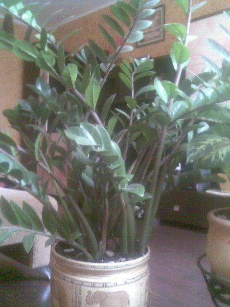 Слышала, что гербера-ядовитое растение.правда ли это? Кто-то выращивает эти цветы дома?
