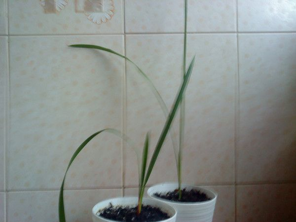 Можно ли посадить дома ананас?