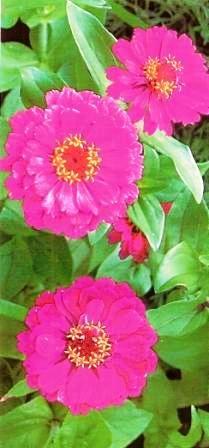 Цинния изящная в украшении сада и в срезке, особенности ухода за цветами
