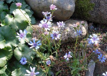 Цветок фелиция окрашен в необыкновенный голубой цвет с лёгким оттенком сирени, уход, размножение