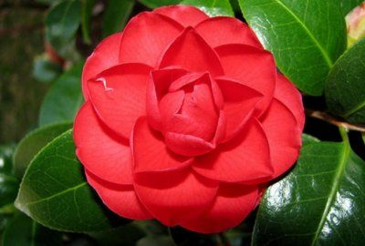 Цветущий кустарник камелия: домашние виды и сорта
