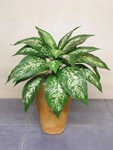 Правда что диффенбахия тропик ядовит и можно такой и все виды диффенбахий держать дома?