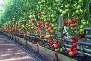 Теплица для помидор