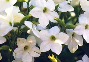 Душистый табак, выращивание цветов
