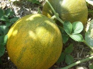 Дыня на собственном огороде: выращивание и уход