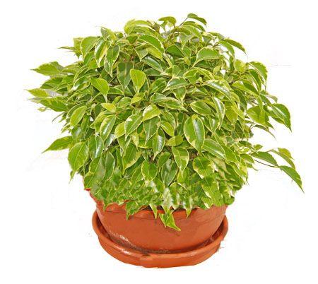 Фикус — тропический цветок с характерным уходом в домашних условиях