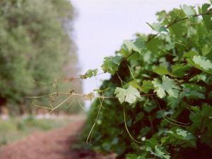 Формируем самостоятельно виноградную лозу