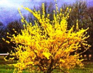 Форзиция: посадка, уход, цветение зимой, описание, фото