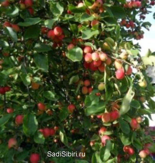 Фотографии яблони из моего сада в 2013 году