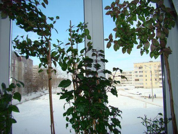Фуксия.сложен ли уход, окна на южную сторону, как обеспечить зимовку, если дома жара? Пропадет?