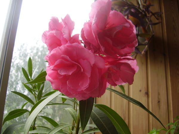 У кого дома растет и цветет олеандр?
