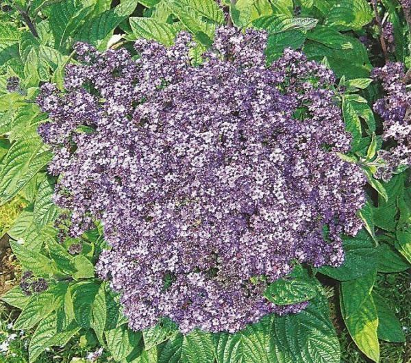 Гелиотроп в дизайне сада, агротехника, выращивание, размножение