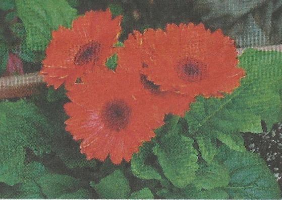 Гербера, необыкновенный цветок, размножение и уход за герберой