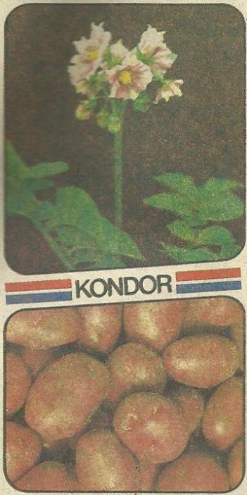 Голландские сорта картофеля, характеристики сортов, их преимущества