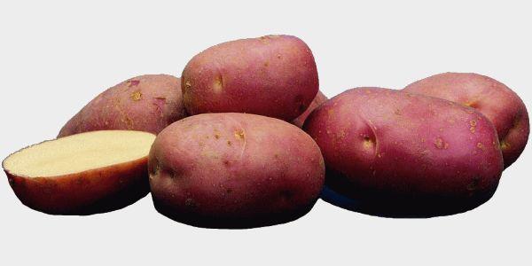Голландский картофель сорта скарлет: превосходный вкус и длительное хранение