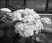 Гортензия в саду, агротехника