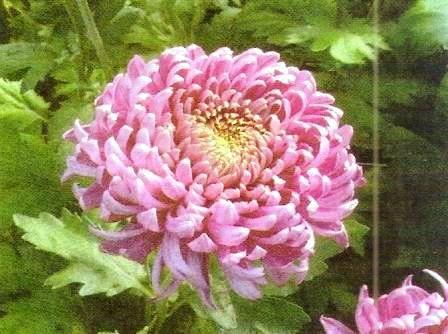 Хризантемы в саду, агротехника