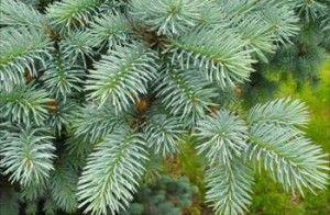 Хвойные деревья на даче — выращивание, выбор
