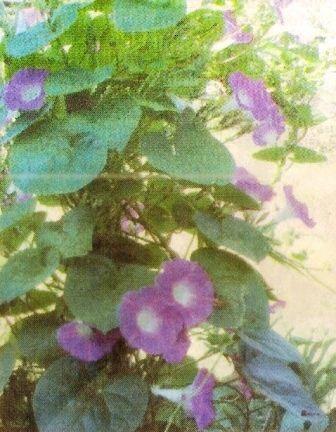 Ипомея - садовая лиана, биологические особенности уход за ипомеей