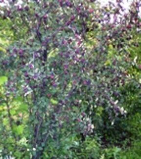 Ирга в российских садах: сорта, агротехника, заготовки из ягоды