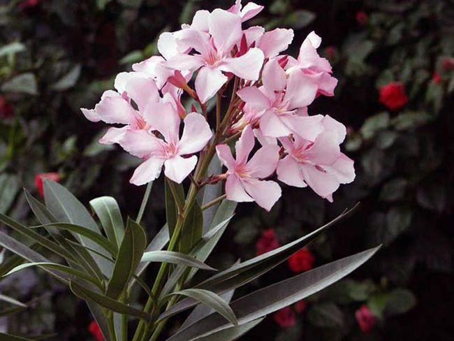 Ядовитый красавец олеандр: особенности ухода и выращивания растения в домашних условиях