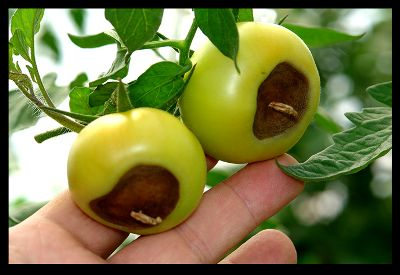 Японский сорт томата черный трюфель — до 6 кг. С одного куста!