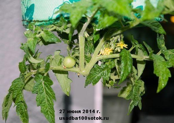 d0037-08-tomat
