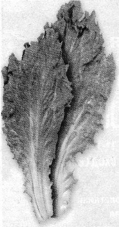 Эскариол – цикорный салат, особенности культуры, уход за салатом эскариолом