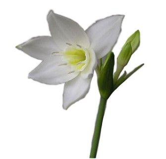 Эухарис — правильно выращиваем дома амазонскую лилию