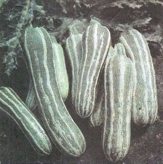 Кабачки цуккини, уход за кабачками, лучшие сорта кабачков