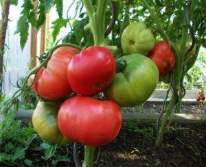 Как легко вырастить розовый томат «малиновка»? Описание сорта и уход