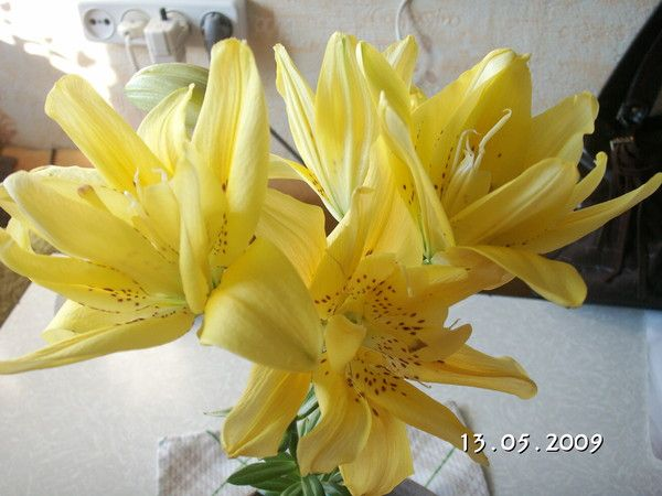 Луковицы лилий пошли в рост, а высаживать рано.что делать, посадить дома в горшок?